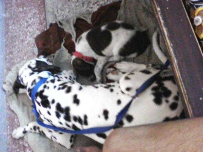samy dal. n buddy, my dogs..sammy n zorro.., DogSpot.in