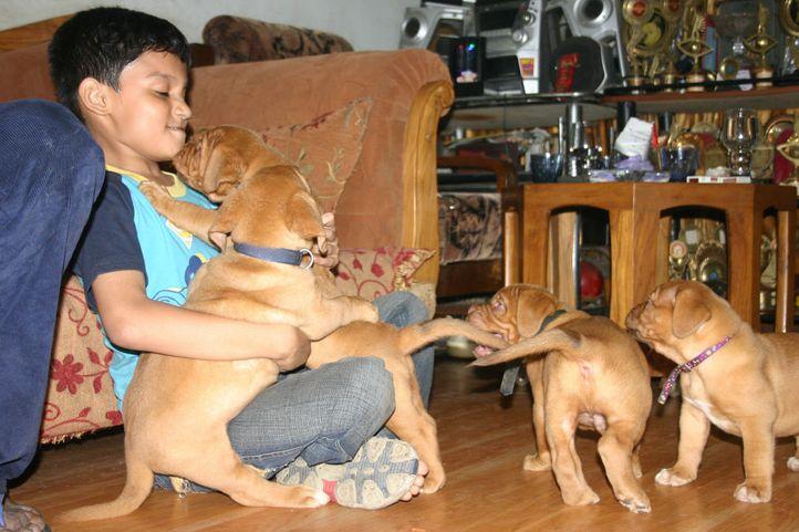 Dogue De Bordeaux, Puppies, Yash, Dogue De Bordeaux, DogSpot.in