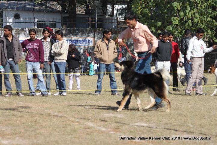 sw-13,tibetan mastiff,, Doon Valley Kennel Club, 5 Dec 2010, DogSpot.in