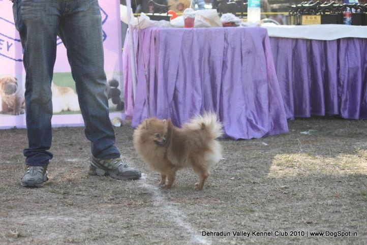 pom,sw-13,, Doon Valley Kennel Club, 5 Dec 2010, DogSpot.in