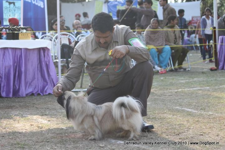 pekingese,sw-13,, Doon Valley Kennel Club, 5 Dec 2010, DogSpot.in