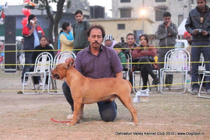 ex-26,staffordshire terrier,sw-13,, EX BULLS MAX BULL, American Staffordshire Terrier, DogSpot.in