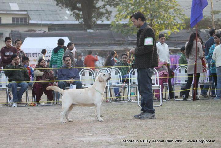 ex-82,lab,sw-13,, FLASH DANCER OF SPEED, Labrador Retriever, DogSpot.in