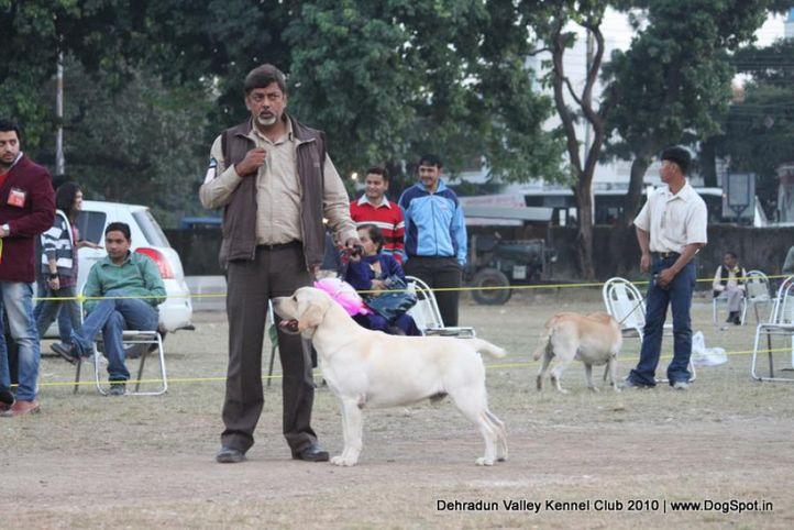 lab,sw-13,, Doon Valley Kennel Club, 5 Dec 2010, DogSpot.in