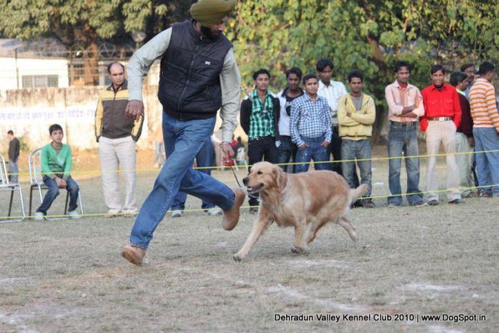 golden,sw-13,, Doon Valley Kennel Club, 5 Dec 2010, DogSpot.in