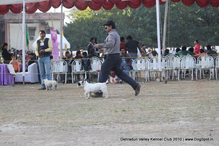 ex-31,french bulldog,sw-13,, ASIA PUPPY HARLEY, French Bull Dog, DogSpot.in