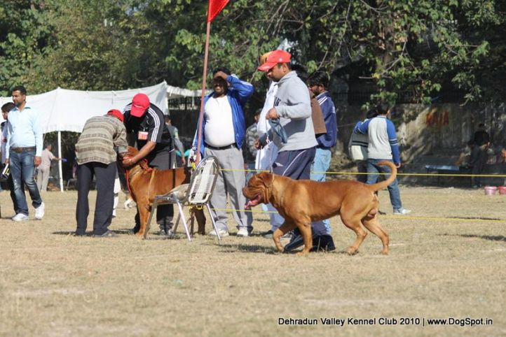 french mastiff,sw-13,, Doon Valley Kennel Club, 5 Dec 2010, DogSpot.in