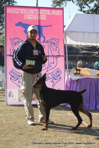 doberman,ex-132,sw-13,, KIRO'S FORMULA ONE, Doberman Pinscher, DogSpot.in