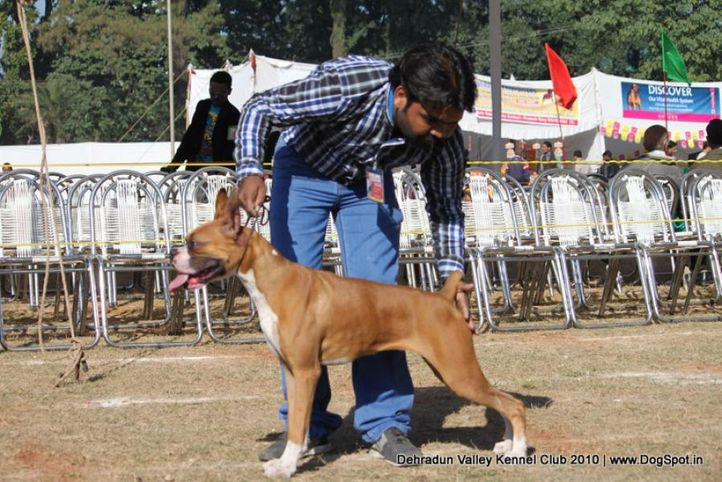 boxer,sw-13,, Doon Valley Kennel Club, 5 Dec 2010, DogSpot.in