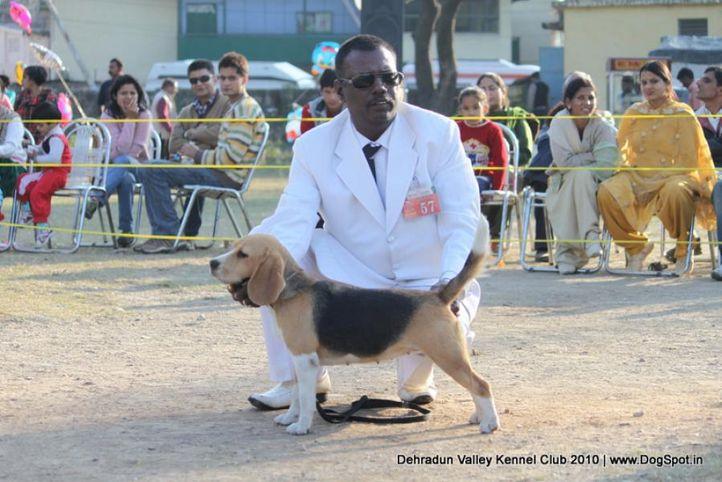 beagle,ex-57,sw-13,, WINALL'S ALYN, Beagle, DogSpot.in
