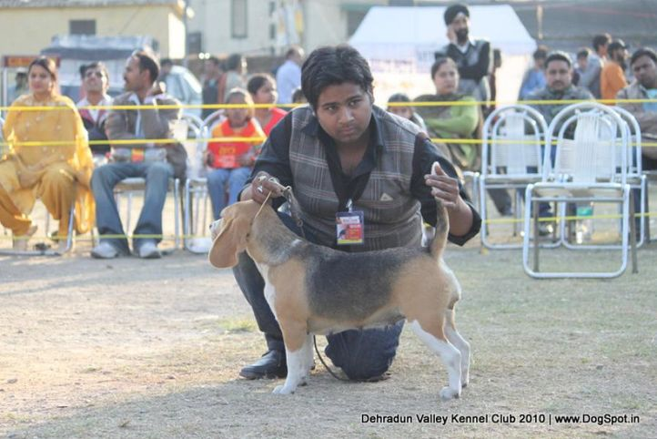 beagle,sw-13,, Doon Valley Kennel Club, 5 Dec 2010, DogSpot.in
