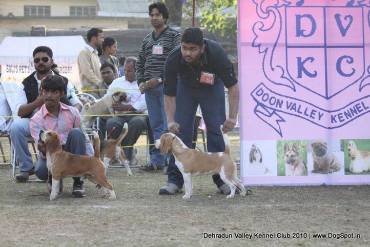 beagle,ex-254,sw-13,, Doon Valley Kennel Club, 5 Dec 2010, DogSpot.in