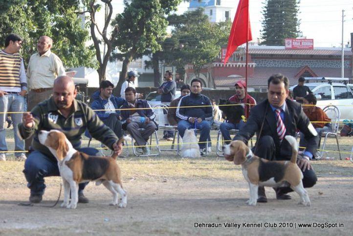 beagle,ex-60,sw-13,, TH.AM.CH.LEGACY'S SPEAKEASY, Beagle, DogSpot.in