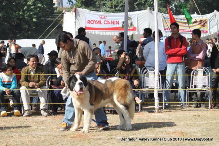 stbernard,sw-13,, Doon Valley Kennel Club, 5 Dec 2010, DogSpot.in