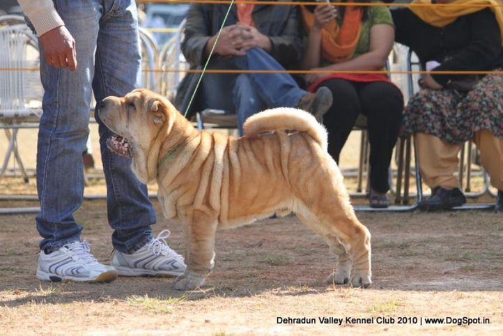 sharpei,sw-13,, Doon Valley Kennel Club, 5 Dec 2010, DogSpot.in