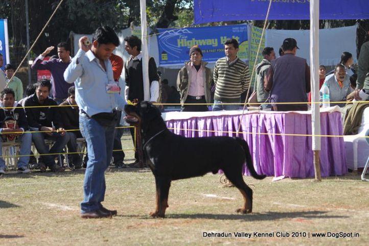 rottwieler,sw-13,, Doon Valley Kennel Club, 5 Dec 2010, DogSpot.in