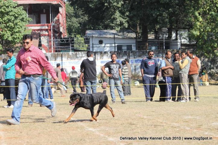 ex-192,rottwieler,sw-13,, ASHA'S LINA, Rottweiler, DogSpot.in