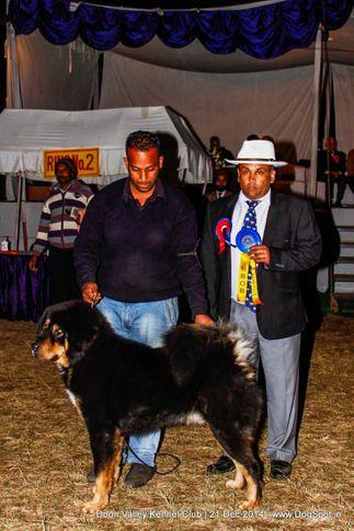 sw-143,tibetan mastiff,, Doon Valley Kennel Club, DogSpot.in