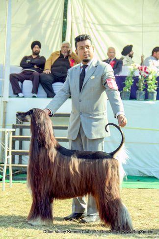 afghan hound,sw-143,, Doon Valley Kennel Club, DogSpot.in