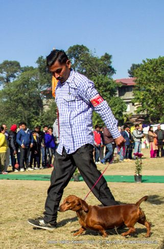 dachshund standard- smooth haired,sw-143,ex-70,, SPANDAN'S OMRAOJAN, Dachshund Standard- Smooth Haired, DogSpot.in