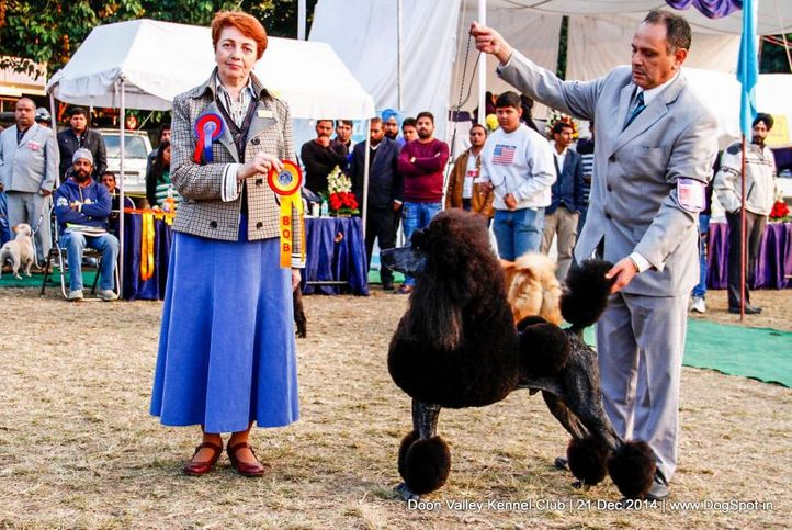 poodle- standard,sw-143,ex-51,, ARG CH BRAZ CH URU RISING STAR'S NEW YEAR OF PANIZZI, Poodle- Standard, DogSpot.in