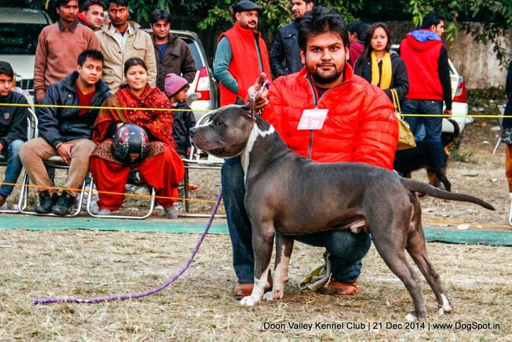 american staffordshire terrier,sw-143,ex-29,, CORBY, American Staffordshire Terrier, DogSpot.in