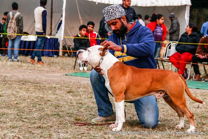 american staffordshire terrier,sw-143,ex-28,, SHAKSHI OF KARBALLIDO STAFF'S ROMEO, American Staffordshire Terrier, DogSpot.in