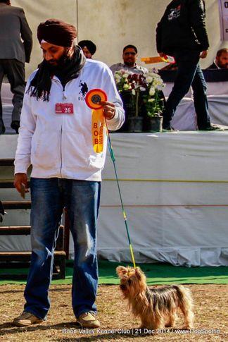 sw-143,yorkshire terrier,ex-26,, DIVA OF GANGASUNDER, Yorkshire Terrier, DogSpot.in