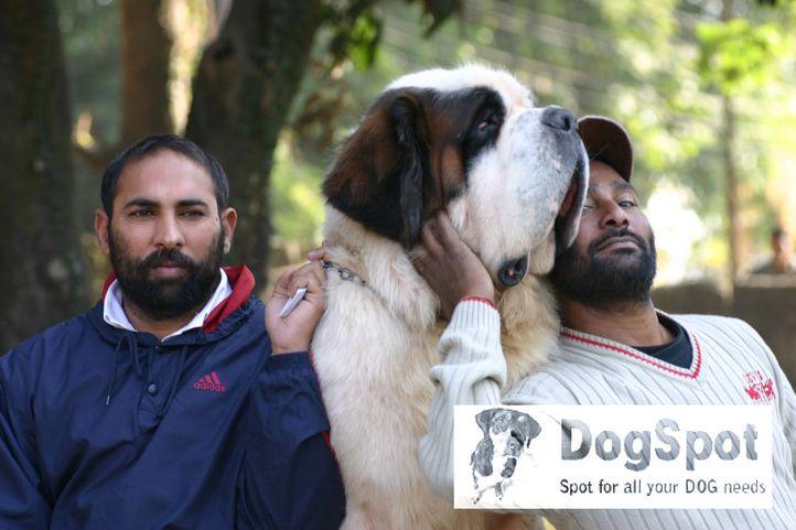 bernard,, Duke Kennel, DogSpot.in