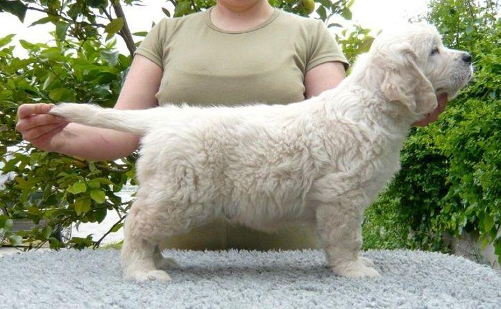 espesially made dezelcova nene from spain, Espesially Made Dezelcova (Nene) from Spain, DogSpot.in