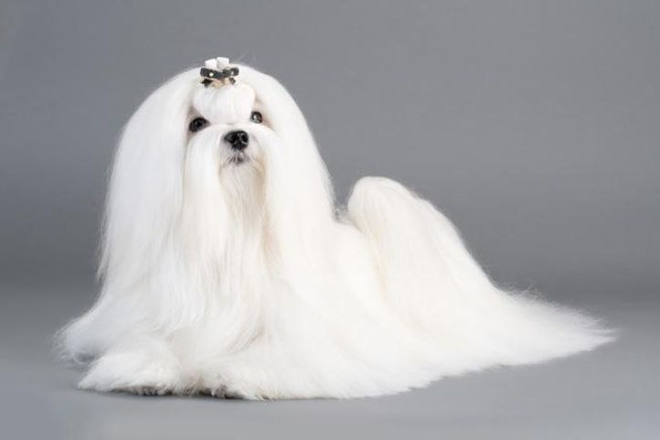 maltese,dogs,young,cynology,grown,breed,white,background,gray,hair,maintained,beautiful,pet,elegant,, my fav dog breeds, DogSpot.in