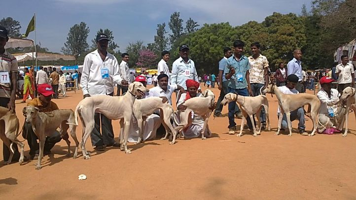 bangalore dog show photos, Gangs of Mudhol Hound, DogSpot.in