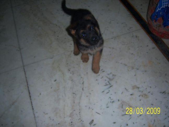 german shepherd dog (9215641038) sony, german shepherd dog (9215641038) sony, DogSpot.in