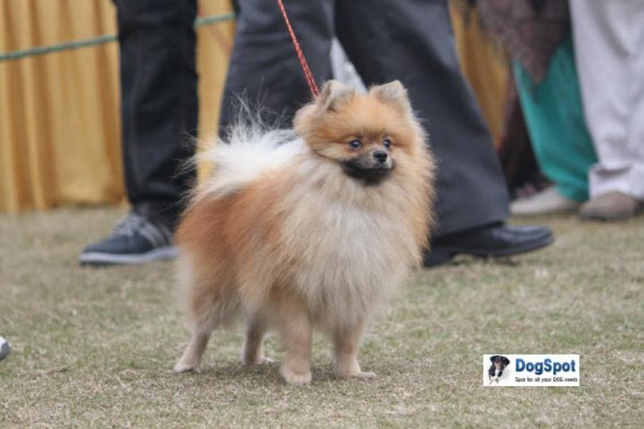 Poms,, Ghaziabad Dog Show 2010, DogSpot.in
