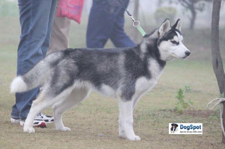 Siberian Husky,, Ghaziabad Dog Show 2010, DogSpot.in