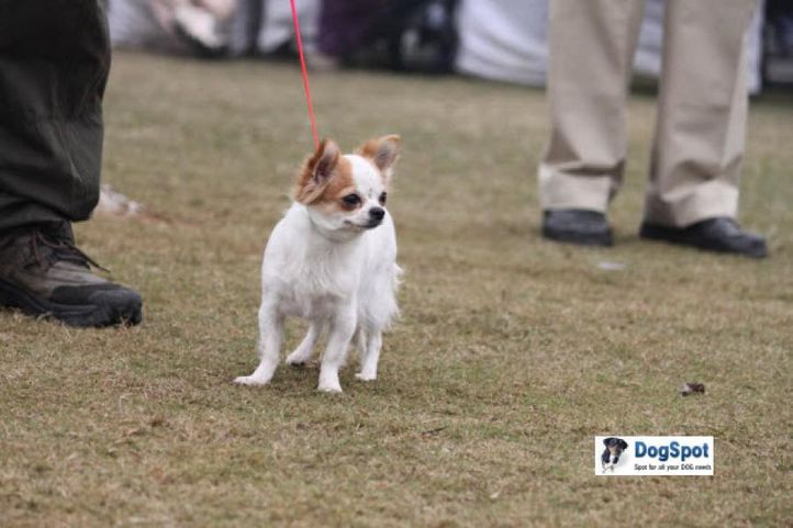 Chihuahua,, Ghaziabad Dog Show 2010, DogSpot.in
