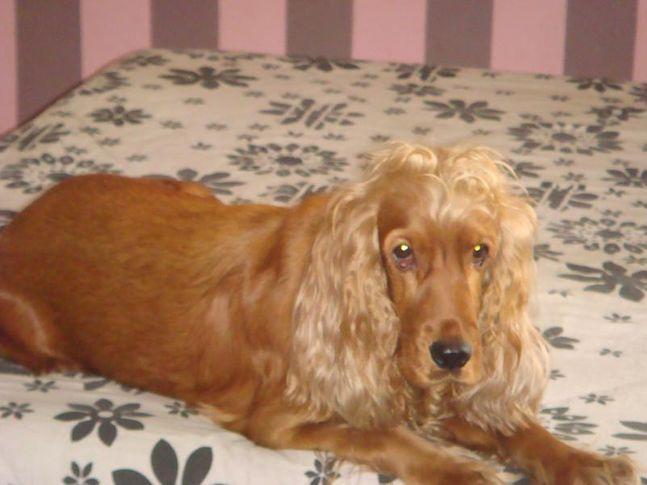 Ginger , Ginger, DogSpot.in