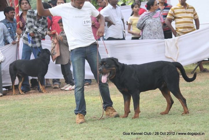 ex-196,rottweiler,sw-63,, TORCIDO'S LUTHER, Rottweiler, DogSpot.in