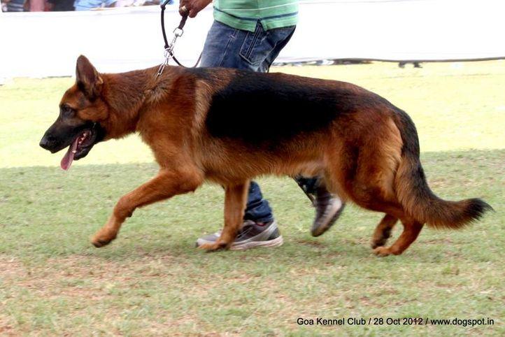 ex-229,german shephard,sw-63,, VINMIN'S DEACON, German Shepherd Dog, DogSpot.in