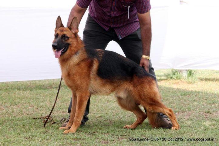 ex-242,german shephard,sw-63,, Goa 2012, DogSpot.in