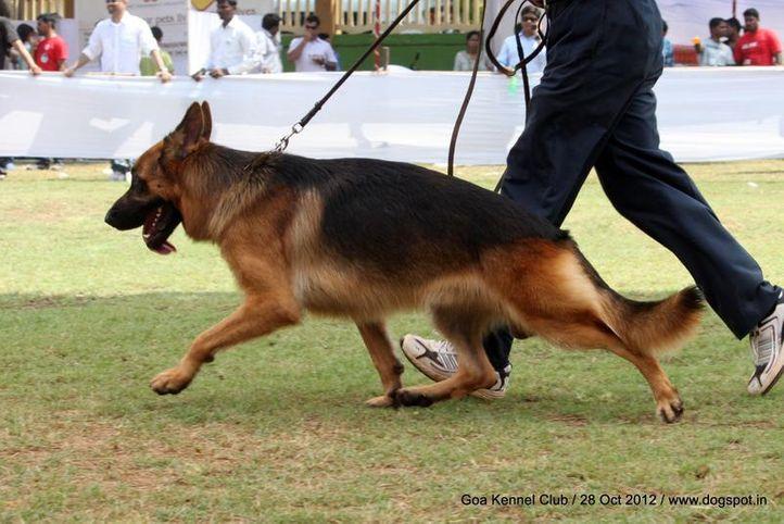 ex-233,german shephard,sw-63,, RANDO, German Shepherd Dog, DogSpot.in