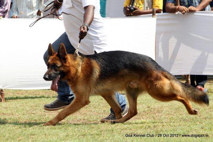 ex-231,german shephard,sw-63,, CASSANDAR'S DARK LINE, German Shepherd Dog, DogSpot.in
