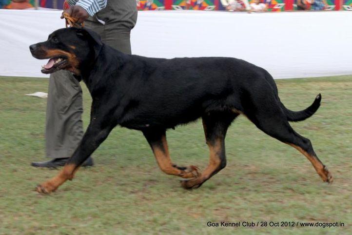 ex-212,rottweiler,sw-63,, DHIREN'S OHINOSTROS SHOOTING MAN, Rottweiler, DogSpot.in