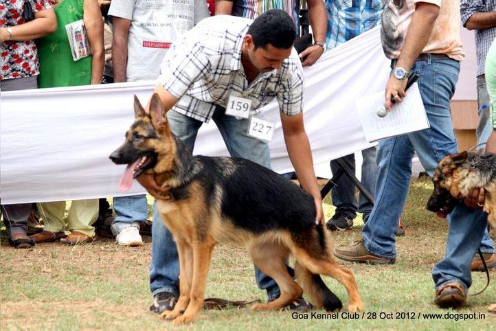 ex-227,german shephard,sw-63,, ANNY, German Shepherd Dog, DogSpot.in