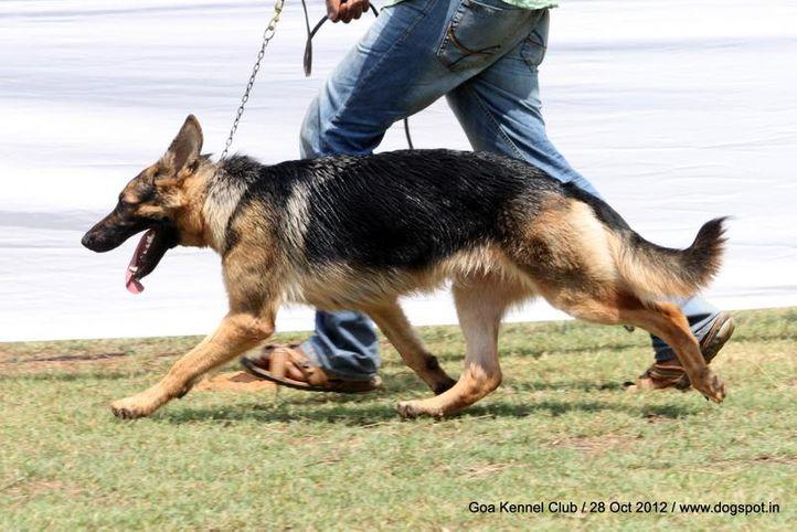 ex-243,german shephard,sw-63,, BONY, German Shepherd Dog, DogSpot.in