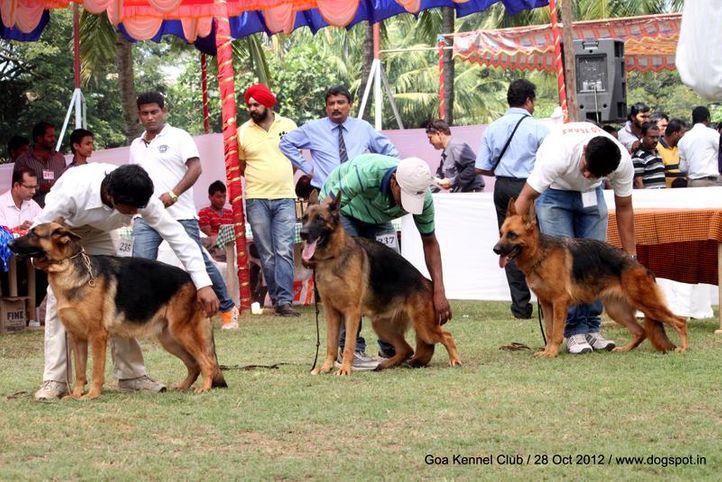 german shephard,sw-63,, Goa 2012, DogSpot.in