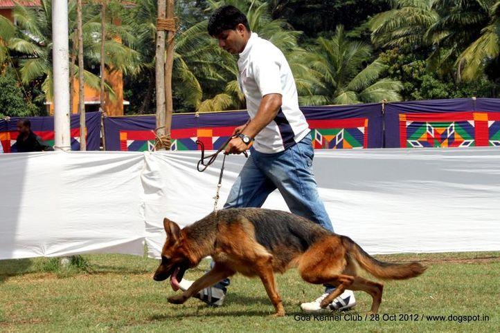 ex-238,german shephard,sw-63,, SHINDE'S ENSCHI OF ANISHRI, German Shepherd Dog, DogSpot.in