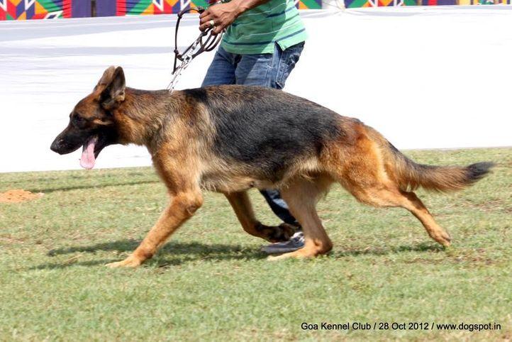 ex-237,german shephard,sw-63,, SWAPNIL'S SUZY, German Shepherd Dog, DogSpot.in
