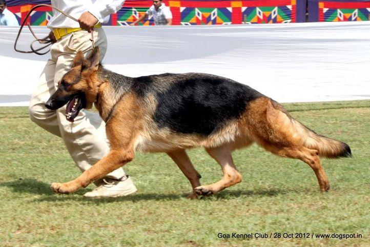 ex-235,german shephard,sw-63,, SUNNYBROOKS BABS, German Shepherd Dog, DogSpot.in
