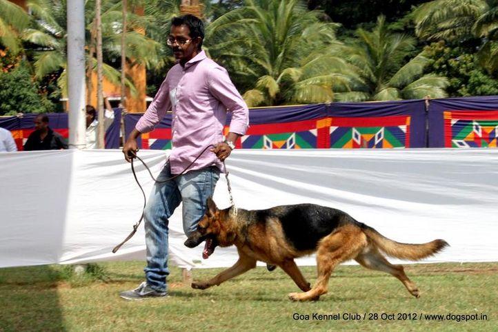 ex-241,german shephard,sw-63,, ELLIKIN'S RUTURAJ'S CHECK THE CASH, German Shepherd Dog, DogSpot.in